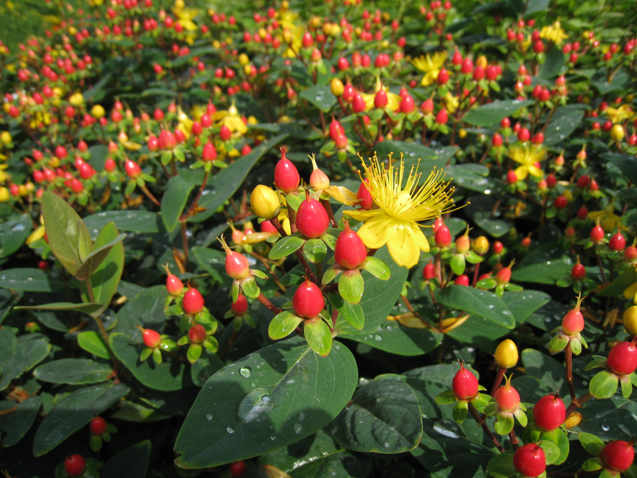 Hypericum 'Mayor'