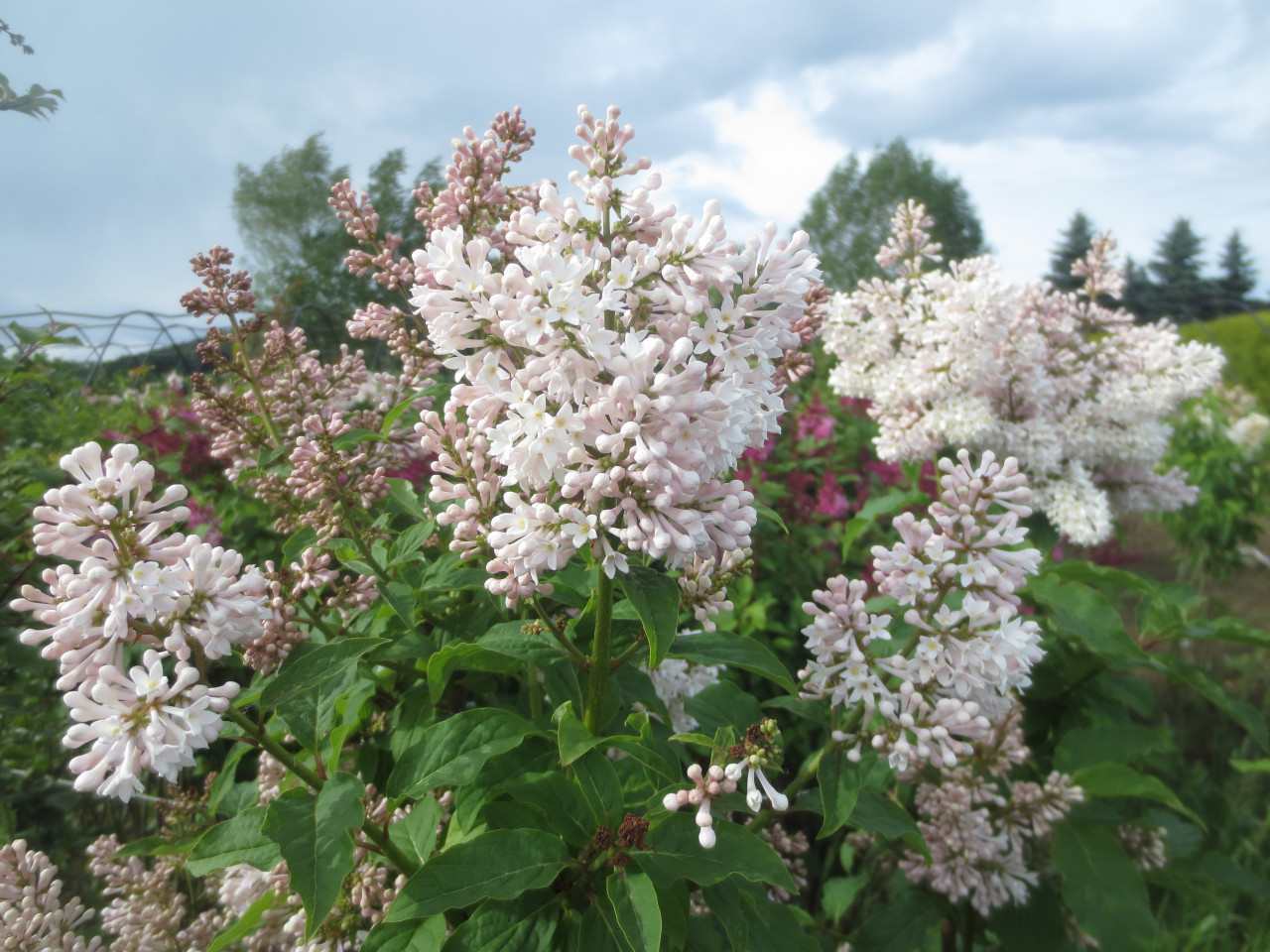 Syringa villosa 'Agnes Smith'